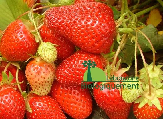 la fraise bio un fruit riche en antioxydants naturels. Black Bedroom Furniture Sets. Home Design Ideas