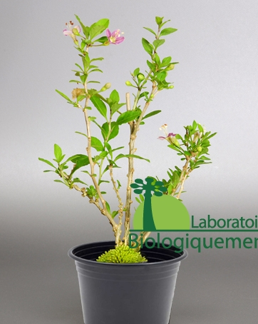 Plante arbre arbuste goji en pot lycium barbarum fruit for Plante arbuste