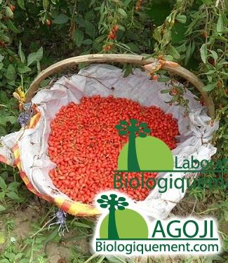 Le goji, un fruit aux innombrables vertus antioxydantes