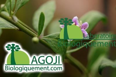 Conseils pour cultivez vôtre plant de Goji lycium barbarum