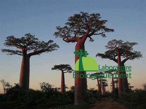 Le baobab sauvage